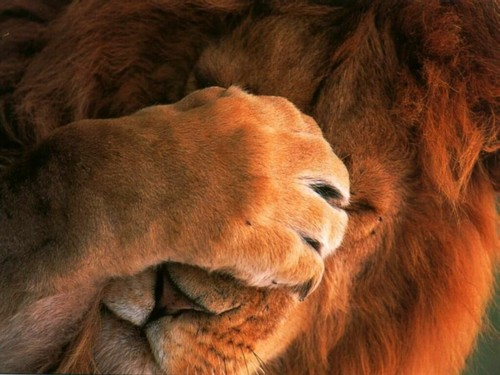 Free-Download-Cute-Animals-Wallpaper-The-Lion-Post