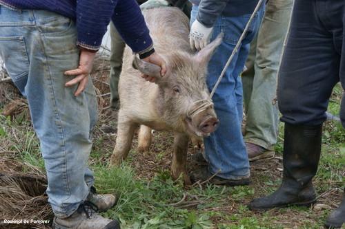 Matança do porco.jpeg