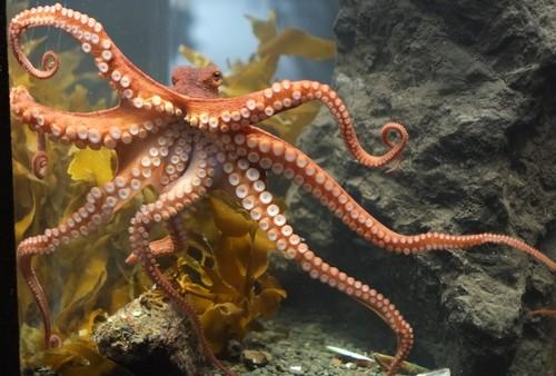 Octopus_at_Kelly_Tarltons.jpg