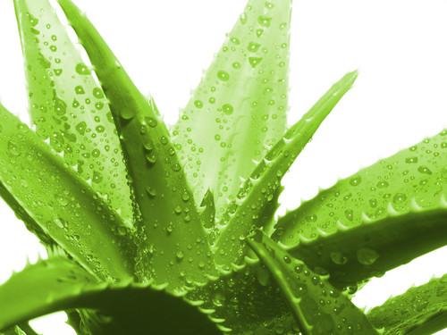 Aloe-Vera.jpg