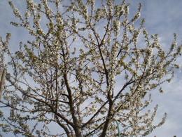 cerejeira.jpeg