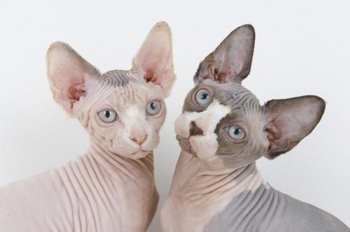 sphynx-cat-08.jpg