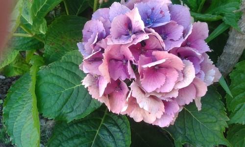 hortens lilas.jpg