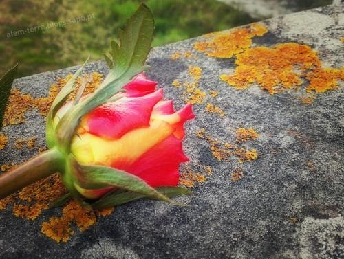 rose beautiful.jpg