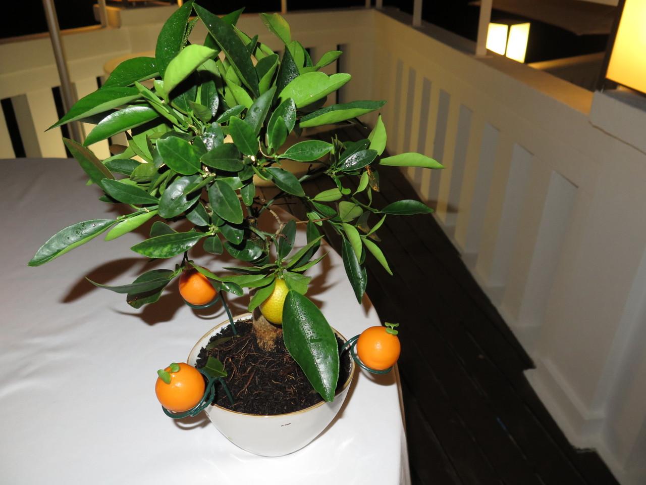 Laranjeira-bonsai… com as falsas laranjas