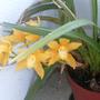 Orquídea Amarela.jpg