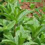 Mentha longifolia.jpg