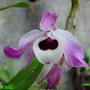 Dendobrium_nobile.jpg