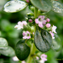 Thymus_citriodora.jpg