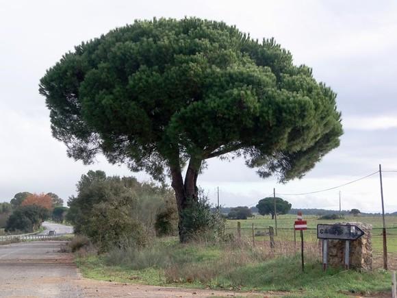 pinheiro.jpg