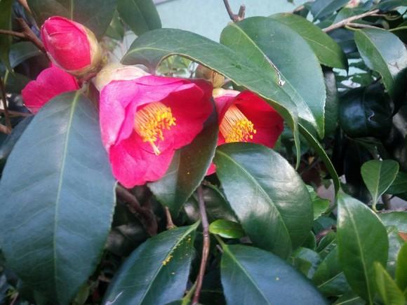 flor camélia