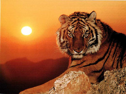 tigre22