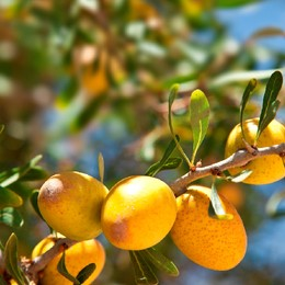 Argan-tree.jpg