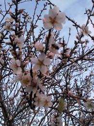 Foto1918.jpg ramo florido de amendoeira