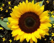 sunflower_wallpaper_coll_hd-180x144.jpg