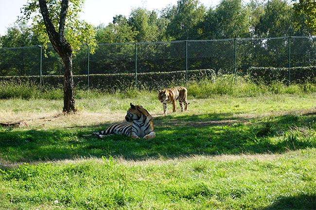 tiger_02_safaripark